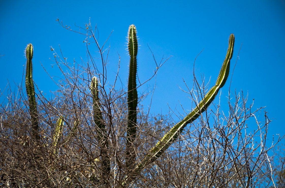 Árvores e cactos disputam o topo da floresta sertaneja. Foto: Duda Menegassi.