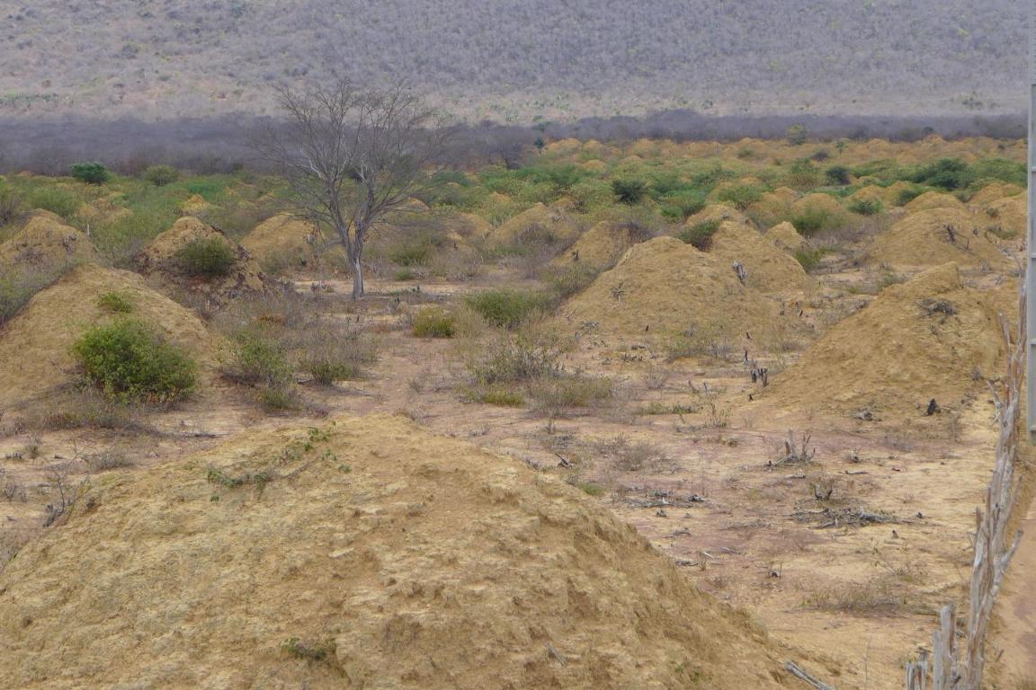 A floresta de murundus na caatinga