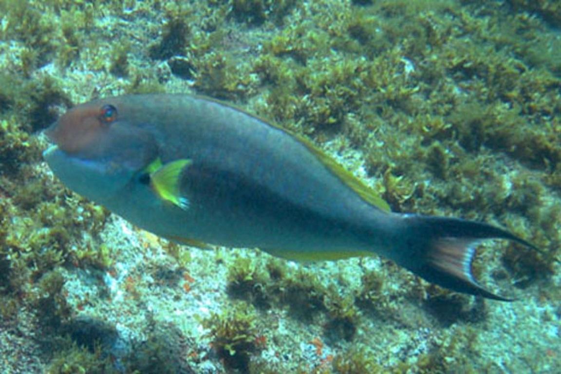 Publicadas regras para a pesca do ameaçado budião