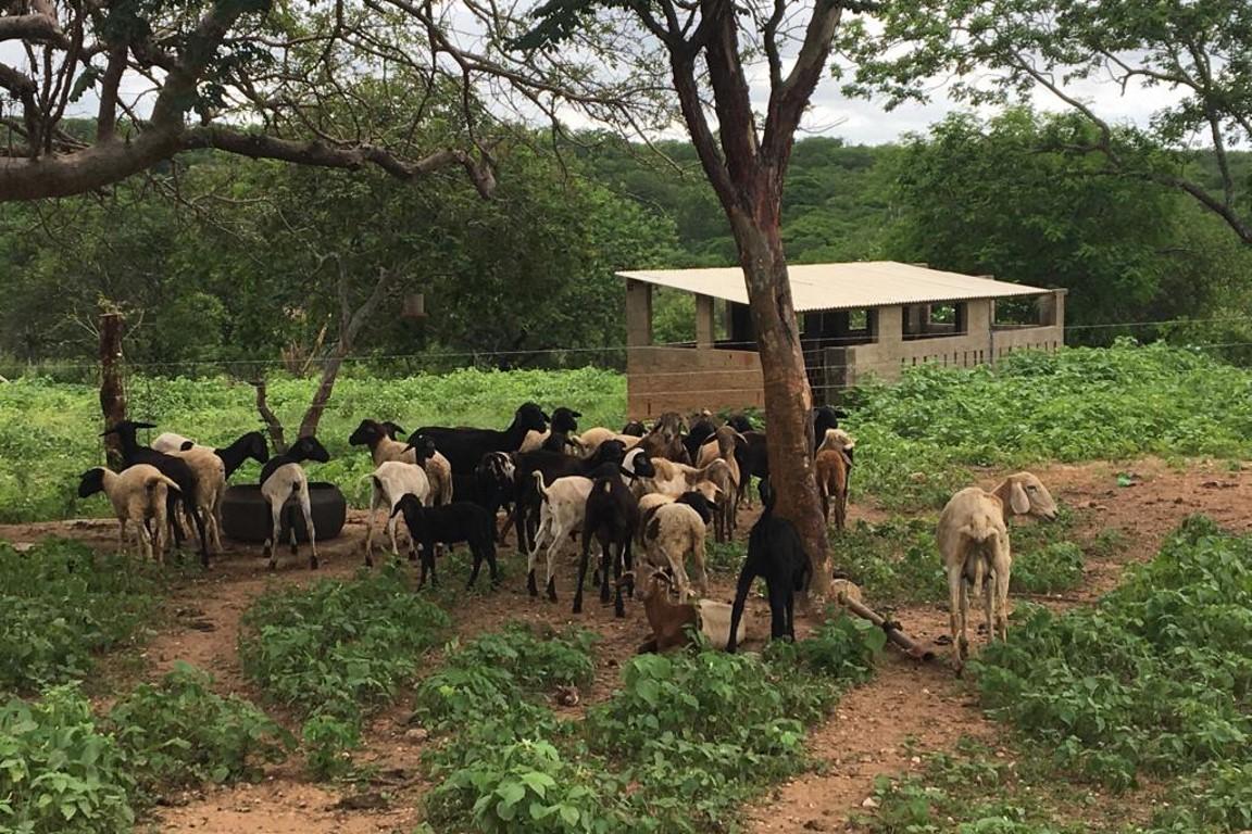 Plantas nativas são alternativa para alimentar o gado na Caatinga (sem desmatá-la)