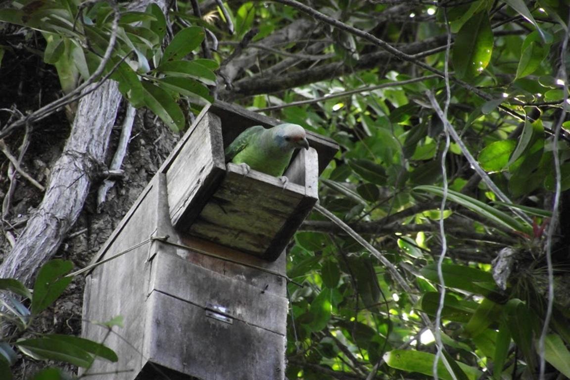 Mudanças climáticas podem ter causado baixa reprodução do papagaio-de-cara-roxa
