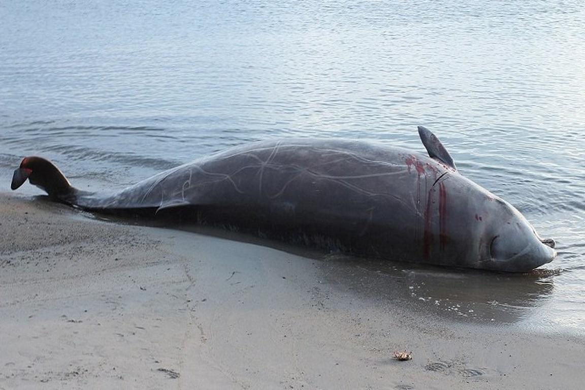 Baleia é encontrada morta com quarenta quilos de plástico no estômago
