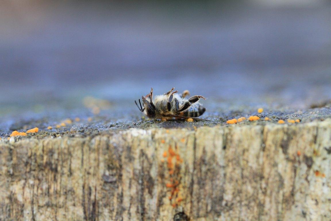 Governo registra mais três agrotóxicos associados à mortandade de abelhas