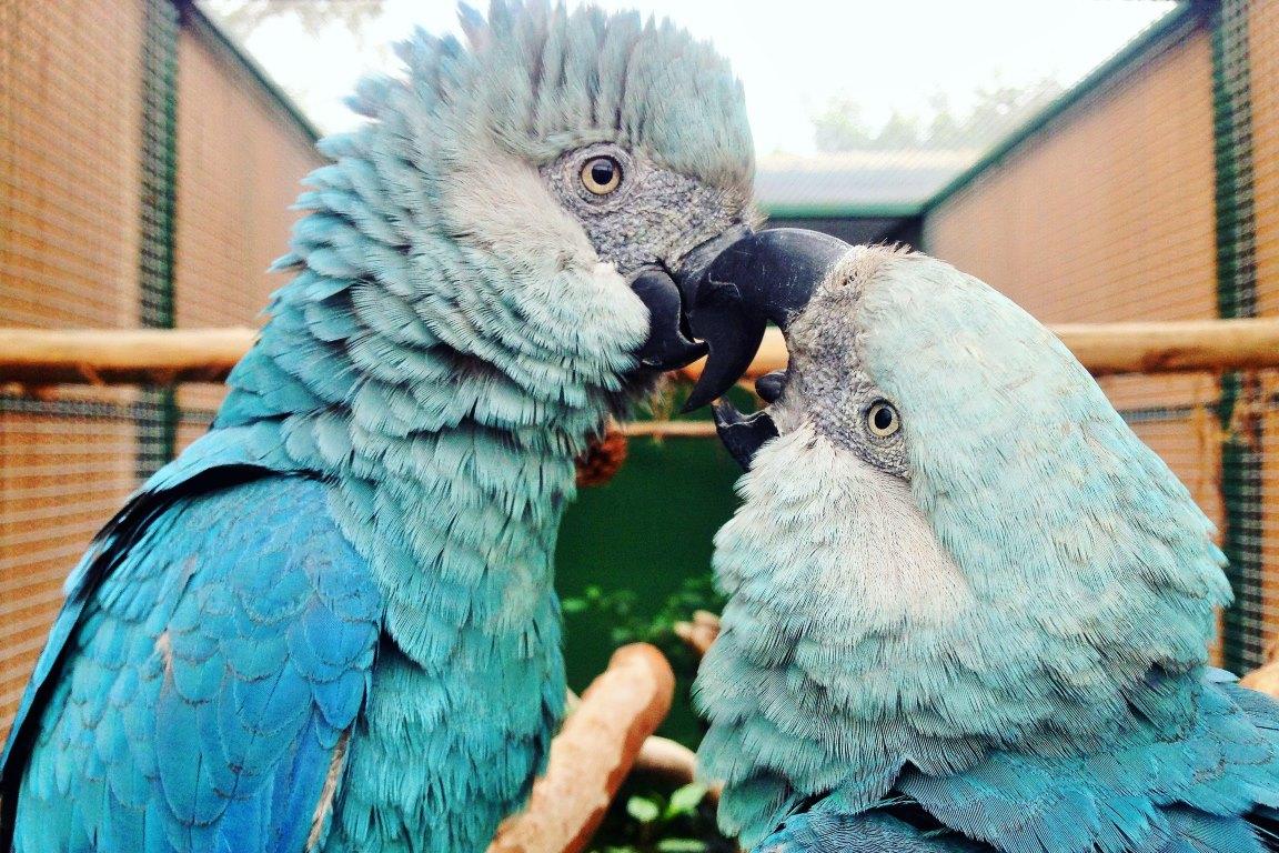 Alemanha enviará 50 ararinhas-azuis para o Brasil - ((o))eco