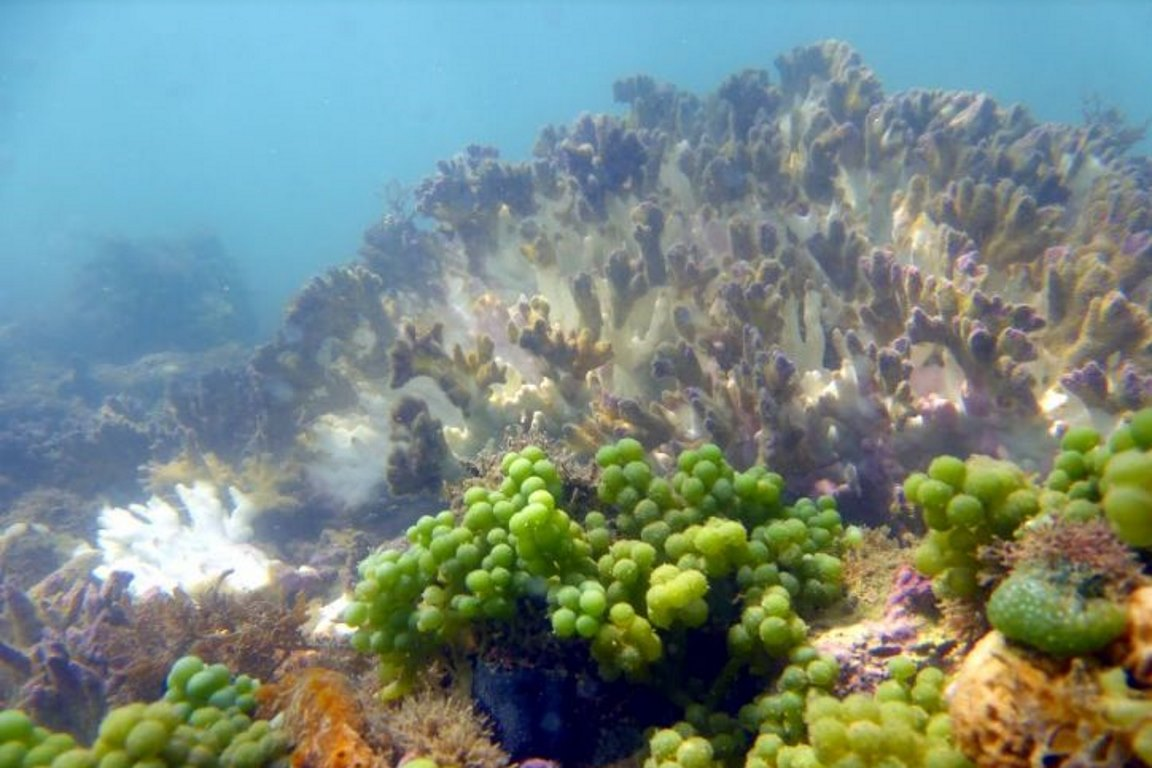 El Niño matou mais 90% de algumas colônias do coral-de-fogo na Costa do Descobrimento