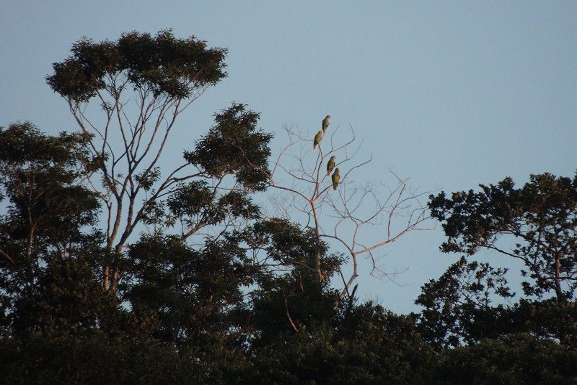 No litoral paranaense, população de papagaios-de-cara-roxa é de 7 mil indivíduos