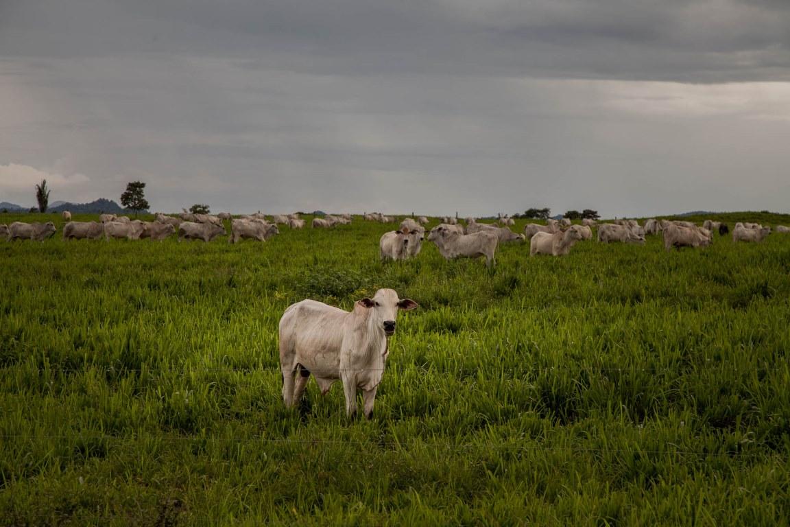 Adubação de pastagens pode triplicar produção bovina e cessar desmatamento da Amazônia