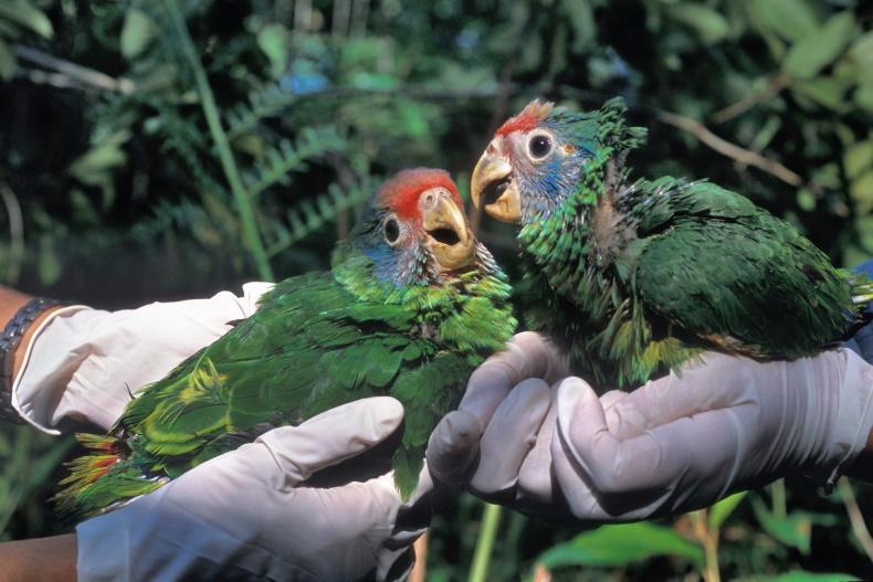 Construção de Porto em Pontal do Paraná ameaça recuperação do papagaio-de-cara-roxa