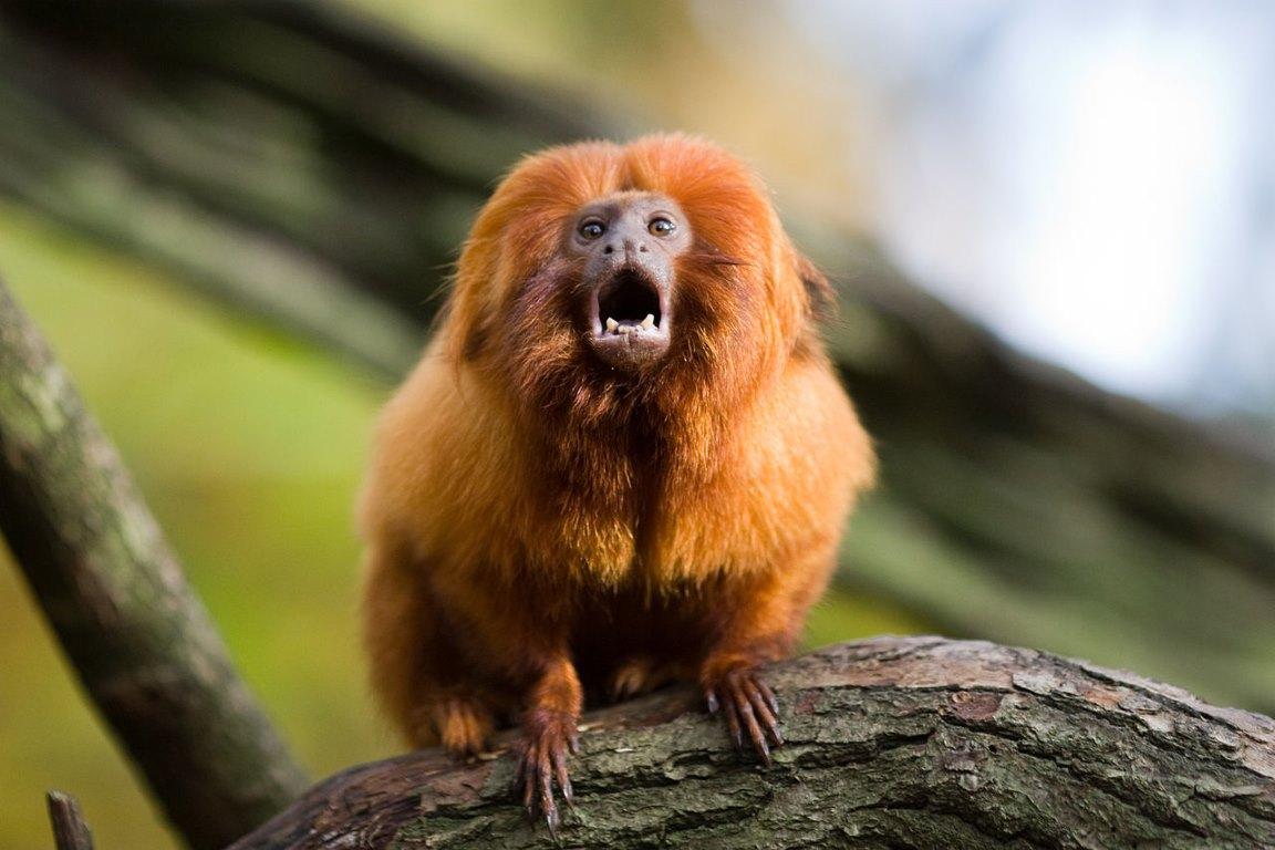 Vacinação de 500 micos-leões-dourados deverá durar 3 anos