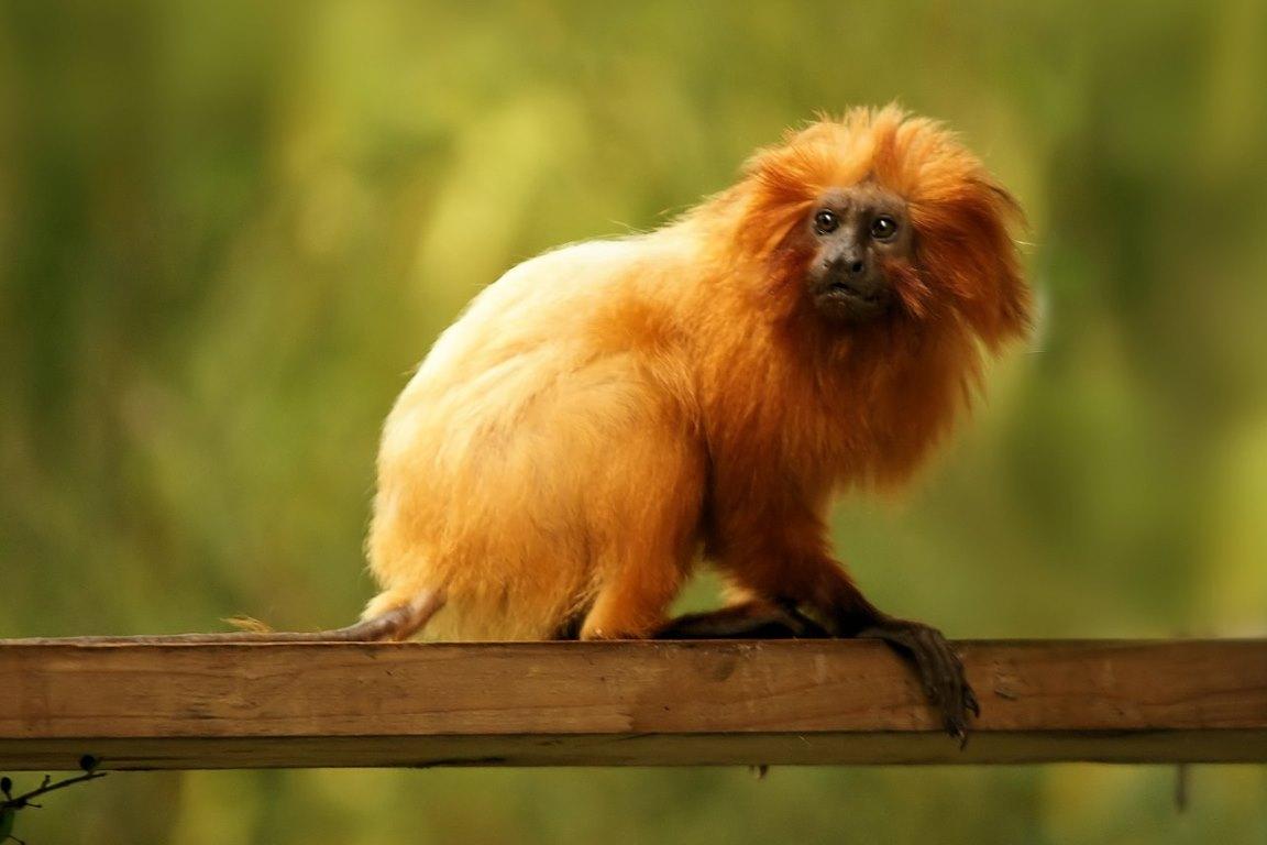 Febre amarela mata 32% da população de micos-leões-dourados no país