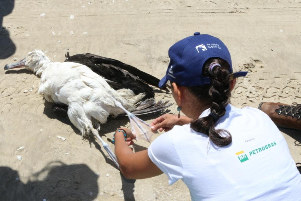 Protocolo virtual orienta na coleta de amostras biológicas de albatrozes e petréis