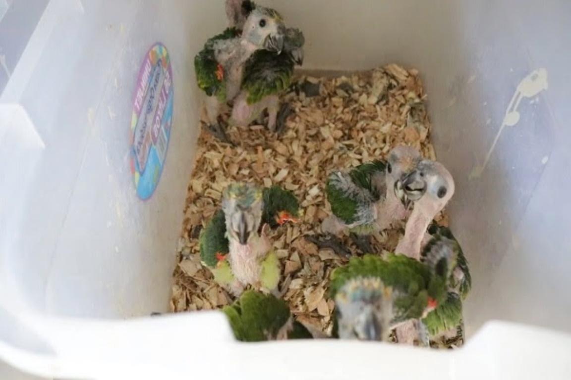 Órgão alerta para o aumento do tráfico de papagaios em período de reprodução