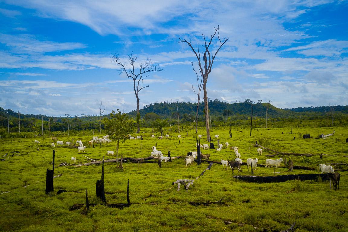 Gado na Amazônia é ameaça ao bioma, aos povos tradicionais e ao próprio setor