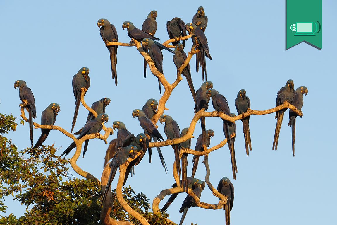Fogo no Pantanal ameaça um dos maiores santuários da arara-azul - ((o))eco