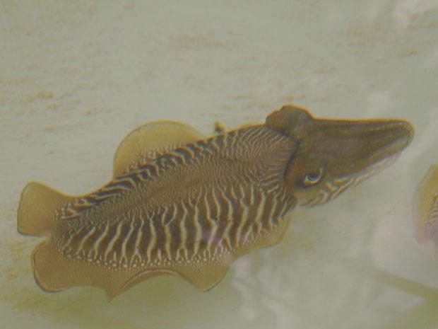 Barulho no mar afeta polvos e lulas