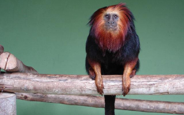 Micos Leões Da Cara Dourada A Caminho Da Terra Prometida Oeco