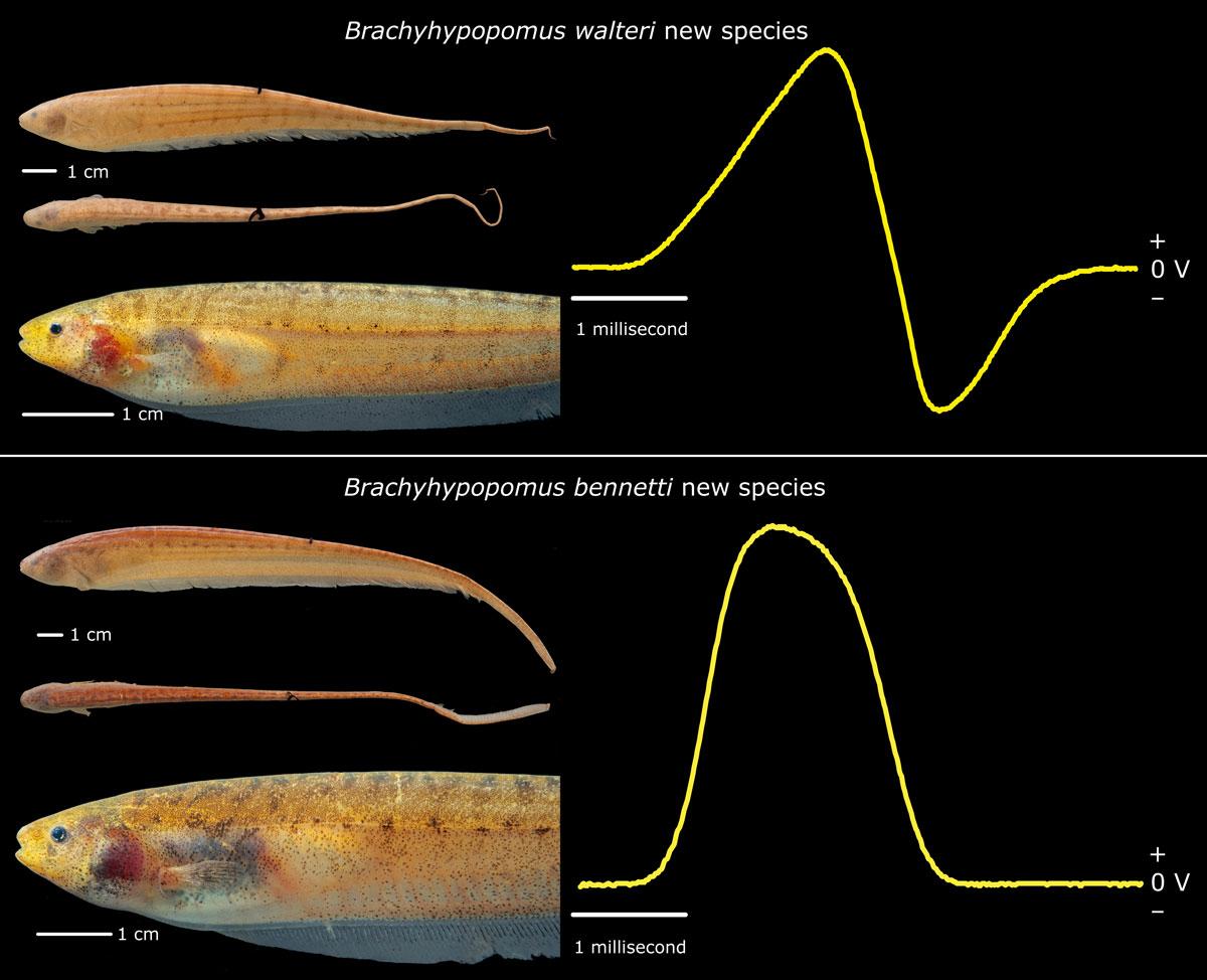 Imitando a fera: novas espécies de peixe-elétrico