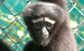lista-primatas-ameacados-abertura