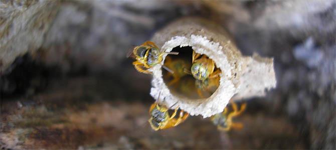 Desbancadas pelas africanas, abelhas sem ferrão ressurgem