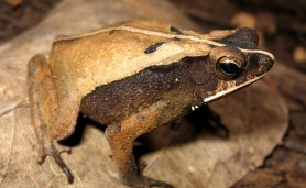 Amphibia-Bufonidae-Rhinella_castaneotica
