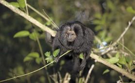 mico-leao