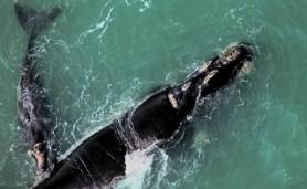 baleias-francas-manchete