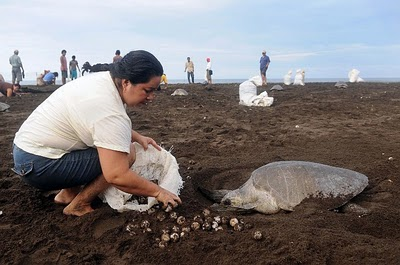 O alegado roubo de ovos de tartaruga na Costa Rica