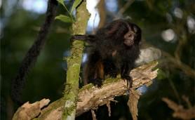 mico-leao-1b