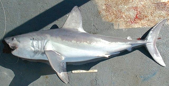 Cites: aprovada proteção de 5 espécies de tubarões