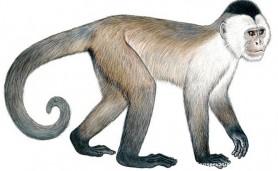 macacos-ameacados-cebus-kaapori