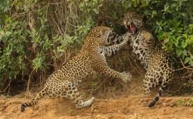 image-tigres