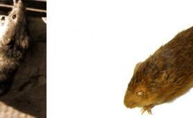 o-rato-do-presidente