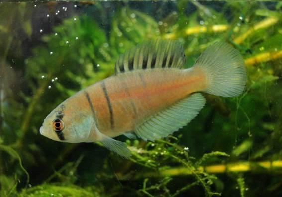 Nova espécie de peixe vive menos de um ano