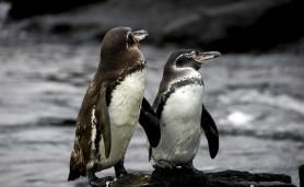14082006-pinguins-das-galapagos