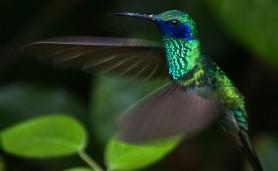colibri-coruscans