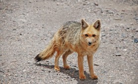 raposa-colorada