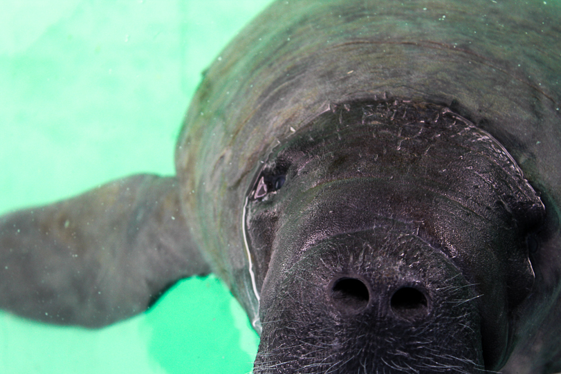 Sem ouvir cientistas, Brasil exporta peixes-boi para o Caribe