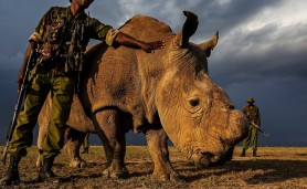 21042015-last-white-rhino