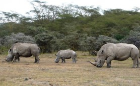 marc-rinocerontes