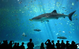 Male_whale_shark_at_Georgia_Aquarium