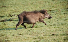Porco-monteiro