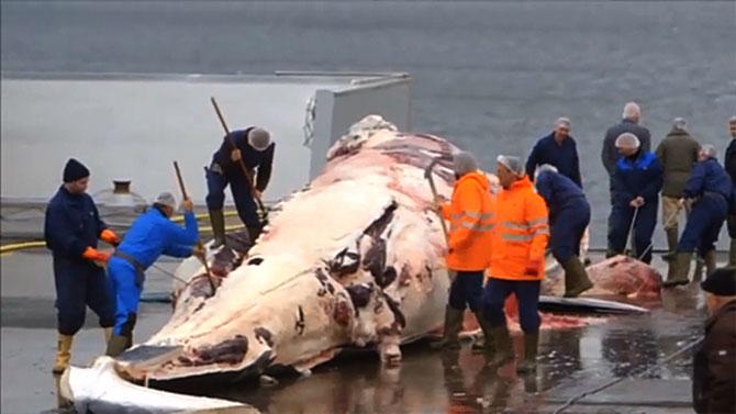 A Islândia retomou sua caça comercial de baleias