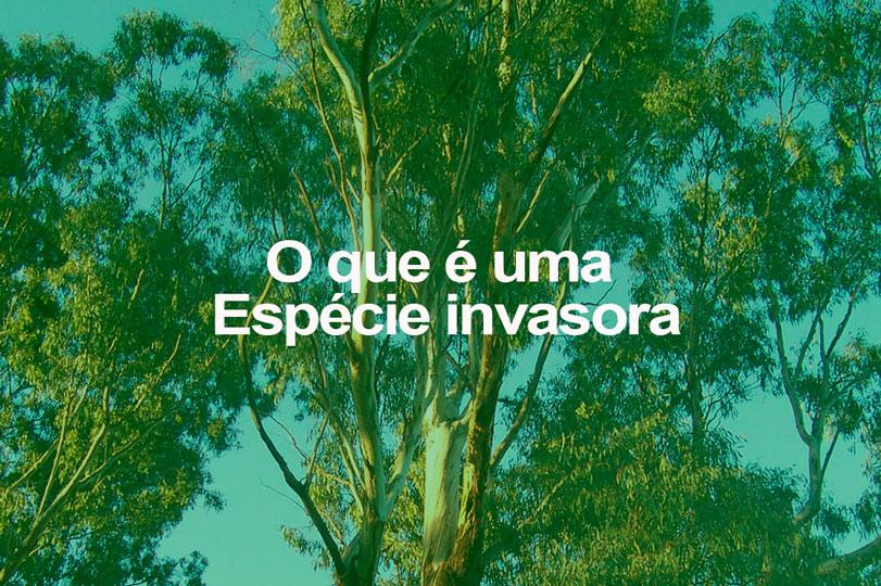 Árvore de eucalipto. Foto: Wikimedia Commons