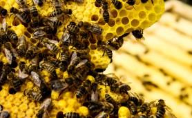 29062015-abelhas
