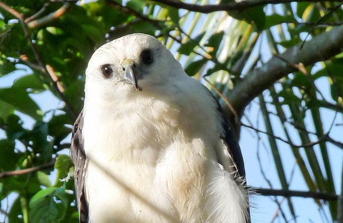 Gavião-pombo-pequeno: predador dos céus da Mata Atlântica