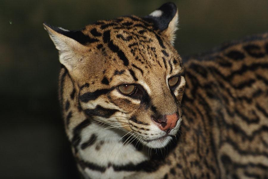 A jaguatirica é o terceiro maior felino da América Tropical, mas sofre com a redução de habitat e redução de presas na Mata Atlântica. Foto: Haroldo Palo Jr./Fundação Boticário