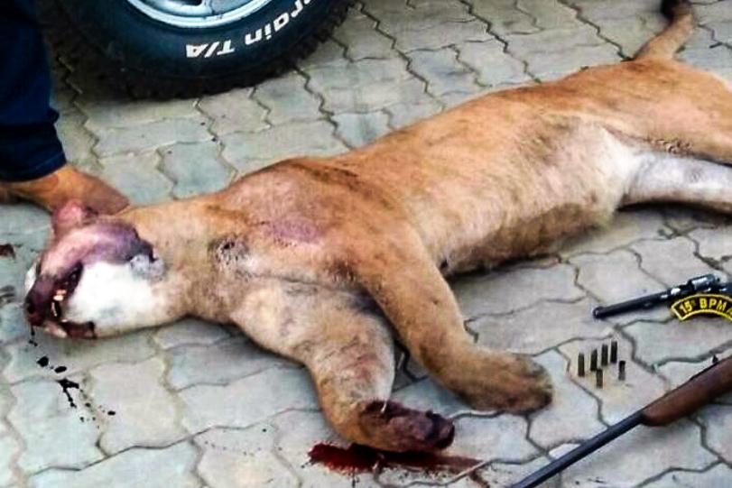 Segundo os policiais, tratava-se de um animal adulto. A onça-parda está na lista de animais em extinção do ICMBio na categoria vulnerável. Crédito: PMA-MS