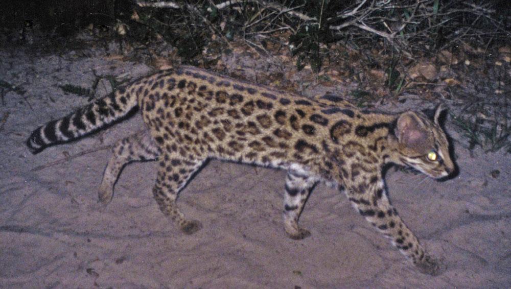 [i]Leopardus guttulus[/i], é encontrado nos estados do Sul e Sudeste do país. As duas espécies não cruzam entre si. Crédito: Projeto Gatos do Mato - Brasil