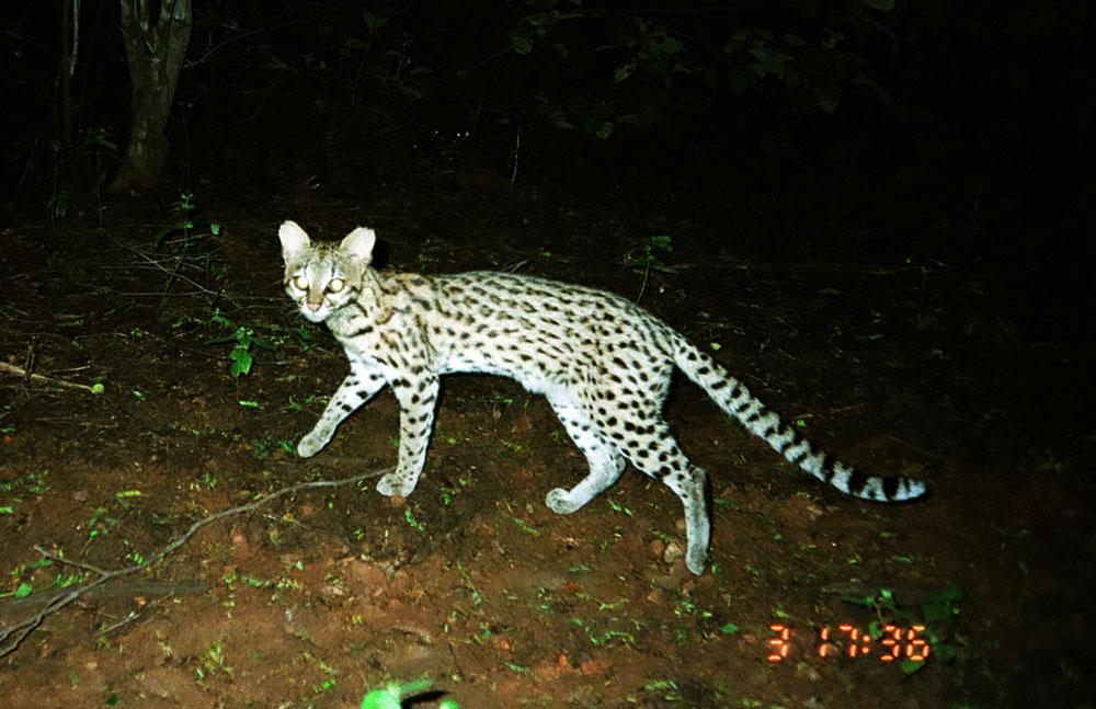 Apesar da semelhança, o [i]Leopardus trigrinus[/i] (acima) vive mais ao norte. Crédito: Projeto Gatos do Mato - Brasil