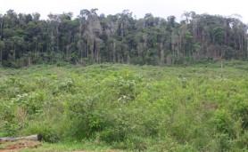 pato_suo_paragominas_floresta_ao_fundo.JPG